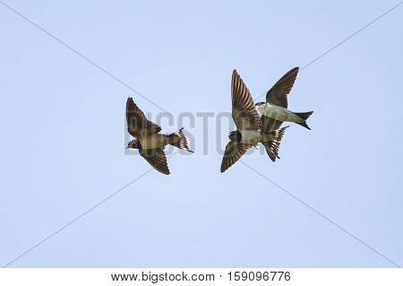 swallows fly high in the blue sky widely spread its wings