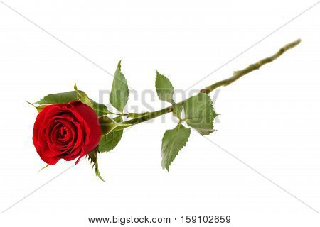 Blossoming red rose on a white background
