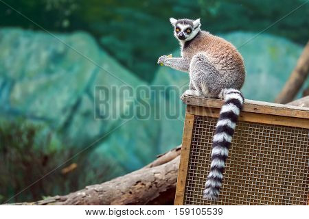 a hairy lemur holding food in claws
