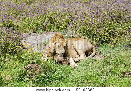 Young male lion resting on the grass in the savannah at Ngorongoro Crater, national park Tanzania.