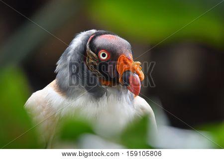 King vulture (Sarcoramphus papa) - portrait