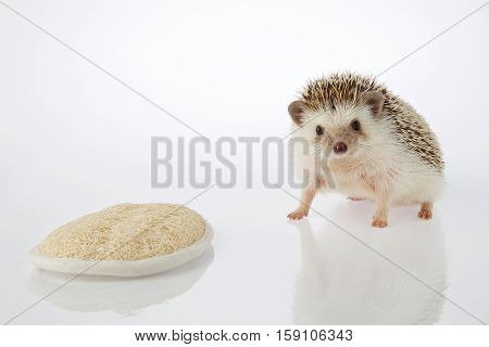 Isolated Hedgehog And Loofah On White Background. Healthy Bath And Spa Concept.