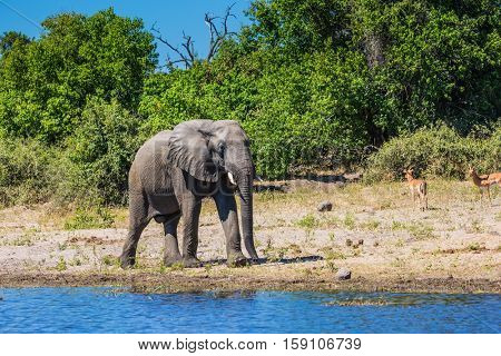 The concept of active and exotic tourism. Chobe National Park in Botswana. Watering African elephant in the Okavango Delta