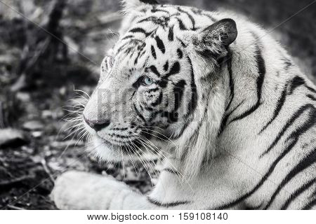 a Bengal White Tiger with blue eyes