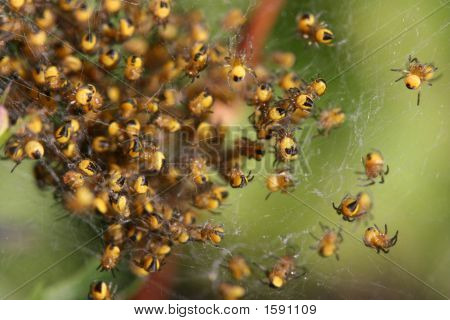 Lots Of Young Spiders