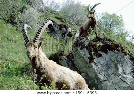 Two Ibex on rocks in the Alps Savoy France