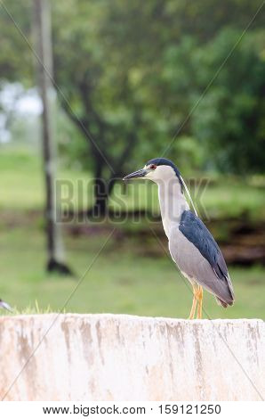 Bird With Red Eyes On The Curb, Bird Also Known As Soco Dorminhoco Bird In Brazil, A Type Of Egret F
