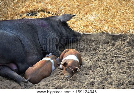 Pig with small pigs sleeping Black White and Brown coloured nice composition