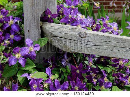 Stunning color of purple clematis winding it's way around the wood  posts of a backyard fence.