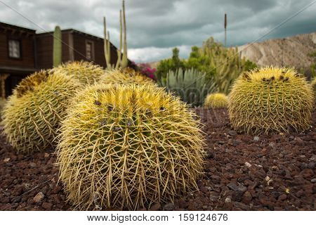 Big yellow cactus in a Western town in Almeria. Spain