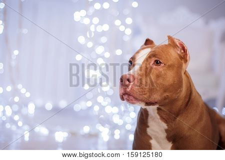 Happy New Year, Christmas, Pet In The Room. Pit Bull Dog