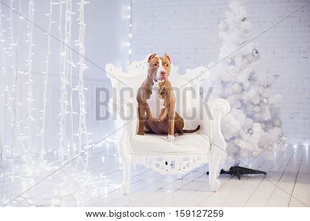 Happy New Year, Christmas, Pet In The Room. Pit Bull Dog Lying In The Chair