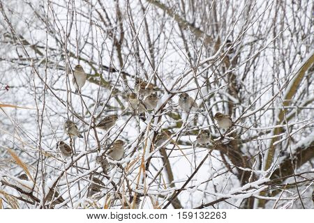 Sparrow On Branches Of Bushes. Winter Weekdays For Sparrows. Common Sparrow On The Branches Of Curra