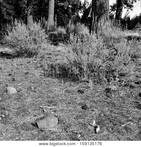 Pine cones rocks and rabbit brush in Ponderosa Park in Bend in Central Oregon on a winter afternoon.