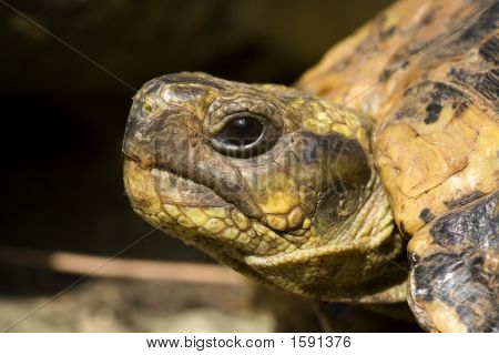 Suggestive head turtle like to ancient reptile poster