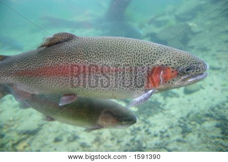 Rainbrow Trout Closeup