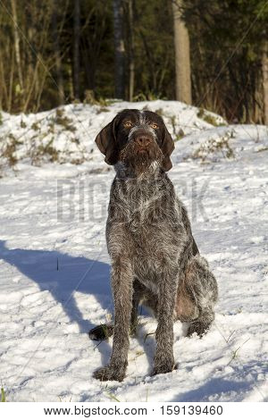 dog hunter sitting in the snow hunter. Kurzhaar Drathaar