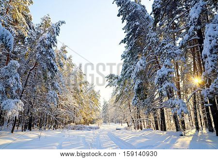 Road through the snowy winter forest in sunny day. Pine trees in snow. Winter forest covered with snow. Winter background.