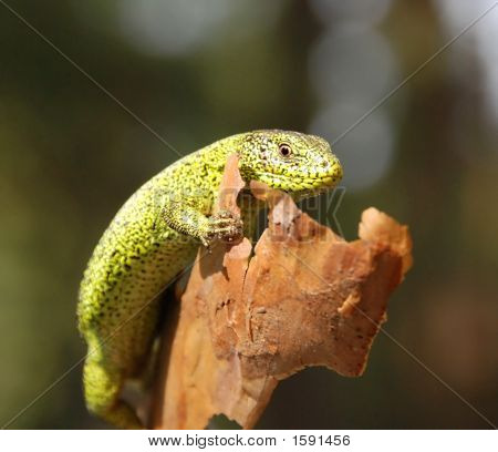 Green Lizard In Closeup