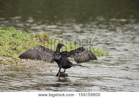 Beautiful Image Of Cormorant Phalacrocoracidae Spreading Wings In Sun On River Bank