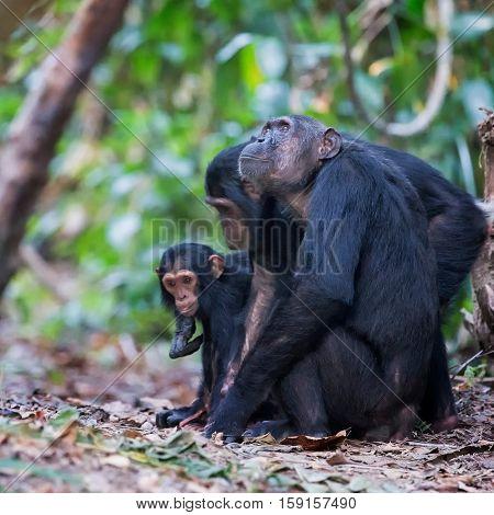 Chimpanzee at Mahale Mountain National Park in Tanzania