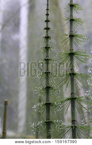 Water droplets stuck to the needles of a mare's tail.