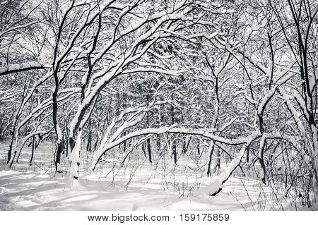 Black and white snow covered winter trees, blue sky at background