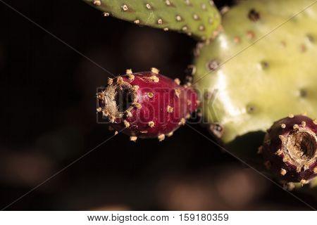 Red fruit on Prickly Pear Opuntia bravoana cactus grows in the desert of Baja, California