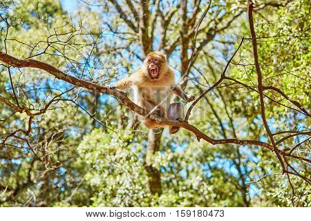 Barbary Apes In The Cedar Forest In Northern Morocco