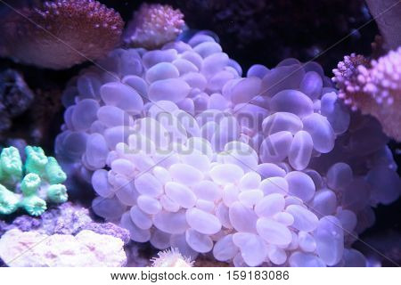 Bubble coral scientifically known as Plerogyra sinuosa in a saltwater aquarium poster