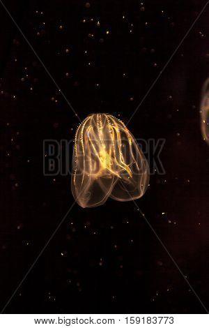 Comb jellyfish called Phylum ctenophore in a saltwater aquarium