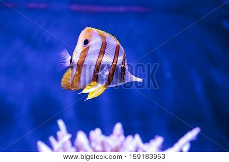 Copper-banded butterflyfish, Chelmon rostratus, in a reef aquarium