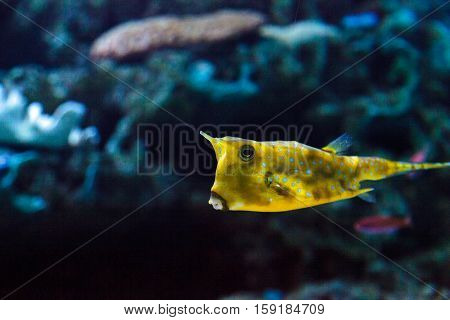 Longhorn cowfish, Lactoria cornuta, is from the boxfish family and can be found in the Indo-Pacific.