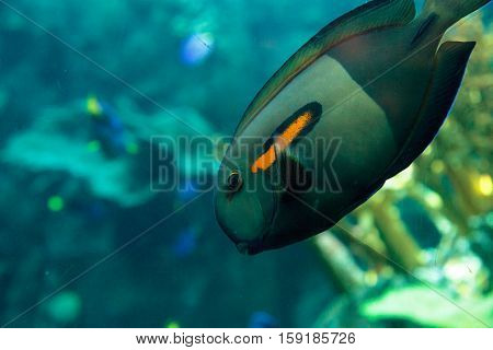 Orange shoulder tang fish, orangeshoulder, Acanthurus olivaceus, is found in the Indo-West Pacific