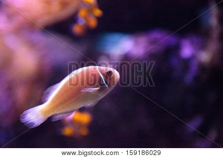 Pink skunk clownfish called Amphiprion perideraion is a species of anemonefish found in Australia