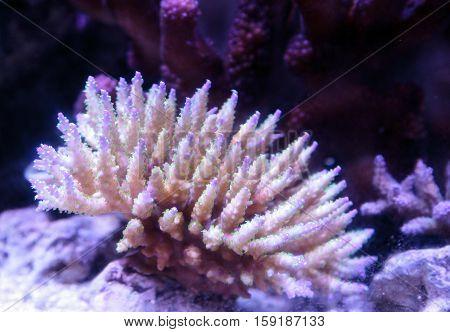 Pink tipped staghorn Acropora coral in a saltwater reef aquarium