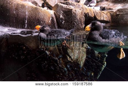 Tufted puffin called Fratercula cirrhata swims and hunts for food in an aquarium