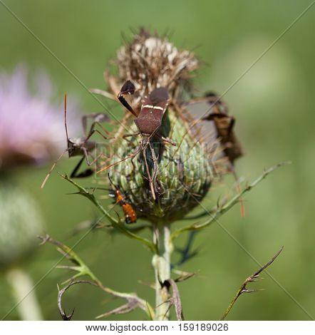 Eastern Leaf-Footed Bug (Leptoglossus phyllopus) on thistle