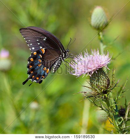 Spicebush Swallowtail (Papilio troilus) nectaring on thistle flower