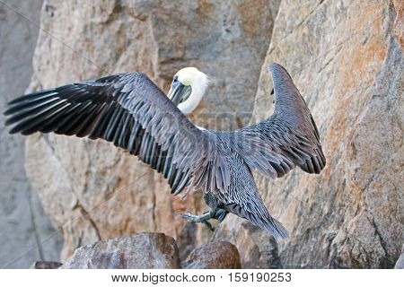 Pelican spreading his wings while landing on Los Arcos cliffs on Lands End at Cabo San Lucas Baja Mexico BCS