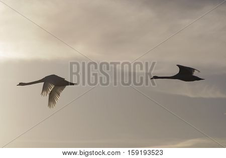 Pair of Mute swans ( Cygnus olor ) in flight Bedfordshire England UK.