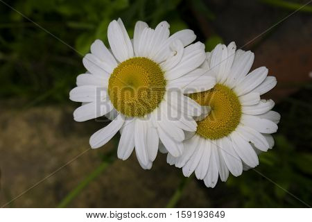 Close up of a pair of daisy flowers ( Bellis perennis ) in an English garden.
