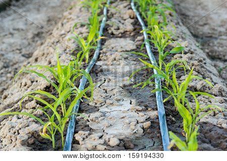 Small Corn Field With Drip Irrigation In Farm