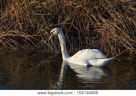 Mute swan on the Great River Ouse near Radwell in Bedfordshire England UK.