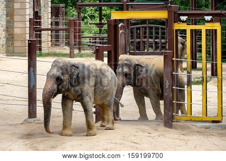 WASHINGTON D.C., USA - AUGUST 13,2016 : Elephants at the Smithsonian National Zoological Park in Washington D.C.