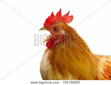 close up portrait of bantam chicken isolated on white background. File contains a clipping path.