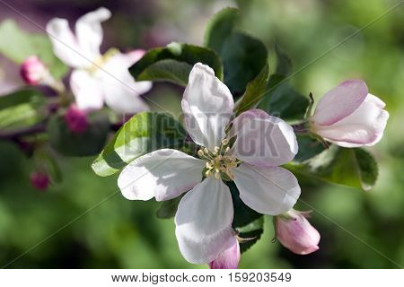 apple tree blooming blossom white flowers closeup