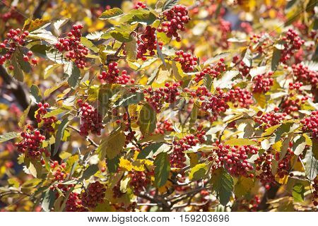 red arrow-wood raisin berries and yellow leaves fall pattern