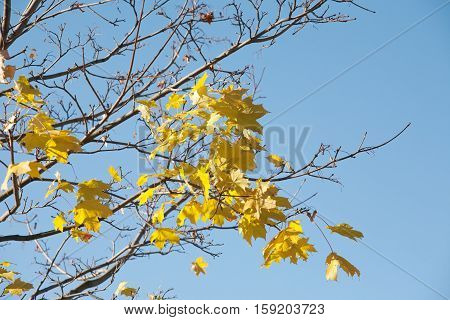 The last fall yellow maple leaves on empty tree branch and blue sky background
