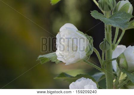 Alcea Rosea, Double Hollyhock, White